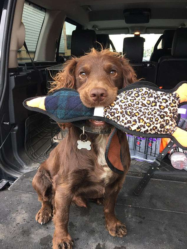 Dog owner is 'heartbroken' after his chocolate cocker spaniel, Dougal, 3, is stolen from his garden