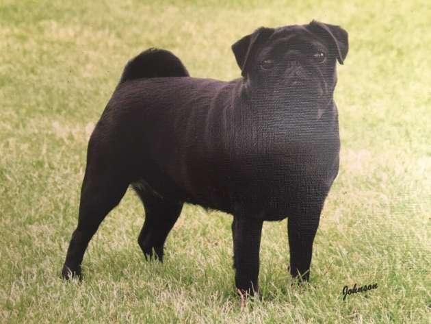 Please help find missing pugs belonging to internationally renowned dog breeder in Westry
