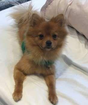 Family heartbroken after tiny puppy Poppy is stolen by burglary