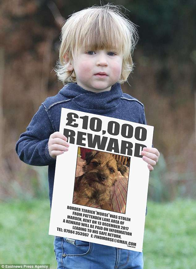Morse the missing Border Terrier from Kent has been found and reunited with his owners.