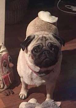 'You have ripped out my heart': Family launch desperate appeal for help in finding three-year-old pug stolen from home in Northolt