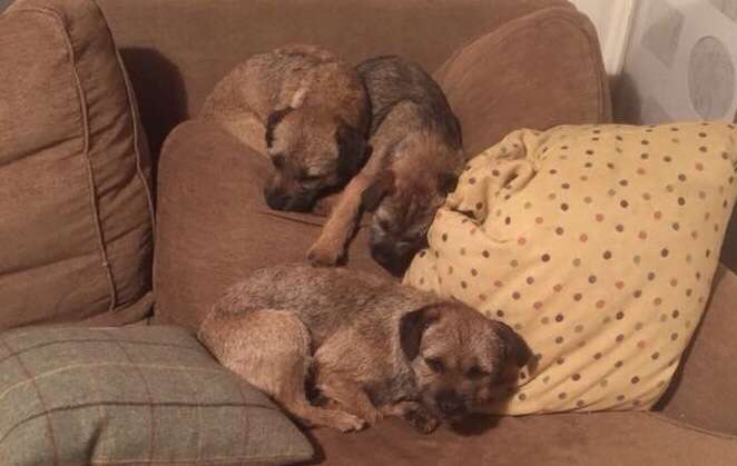 Three Border Terriers stolen from home