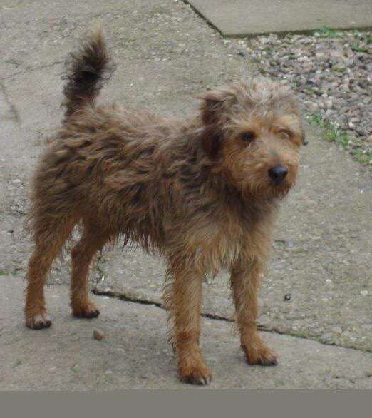 Four terriers stolen from Shropshire gardens in two days