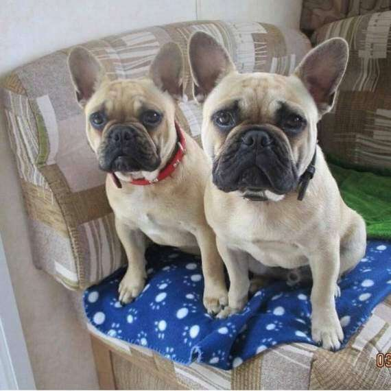 Two French Bulldogs stolen from garden