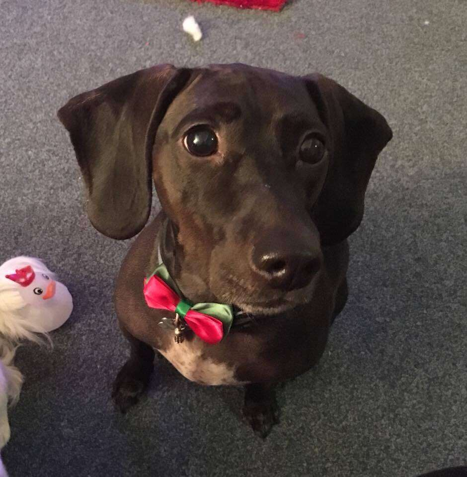 Dog, Brutus, missing in Borehamwood, following burglary now believed to be stolen