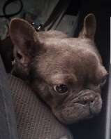 Appeal to find French bulldog puppy stolen from garden where children played