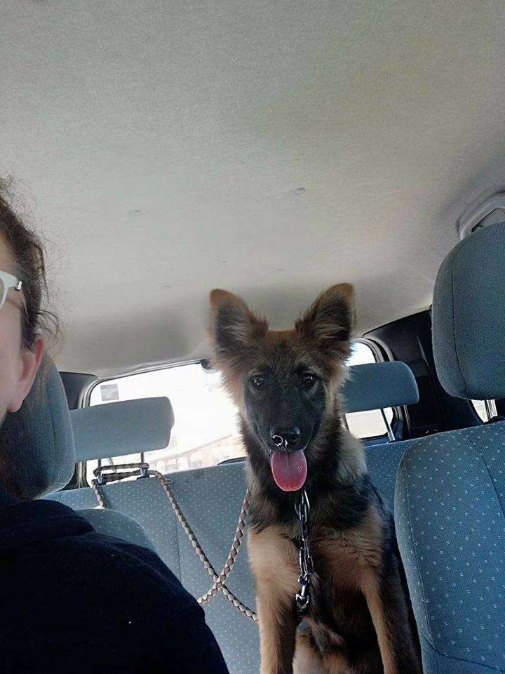 GSD puppy stolen from service station on M1, London. CCTV of man police would like to talk too.  REUNITED #PetTheftReform