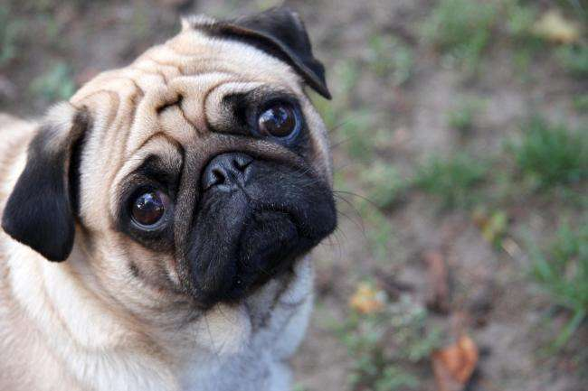 Pug in Newport's Black Ash Park died after being found with 'fighting injuries'. #PetTheftReform