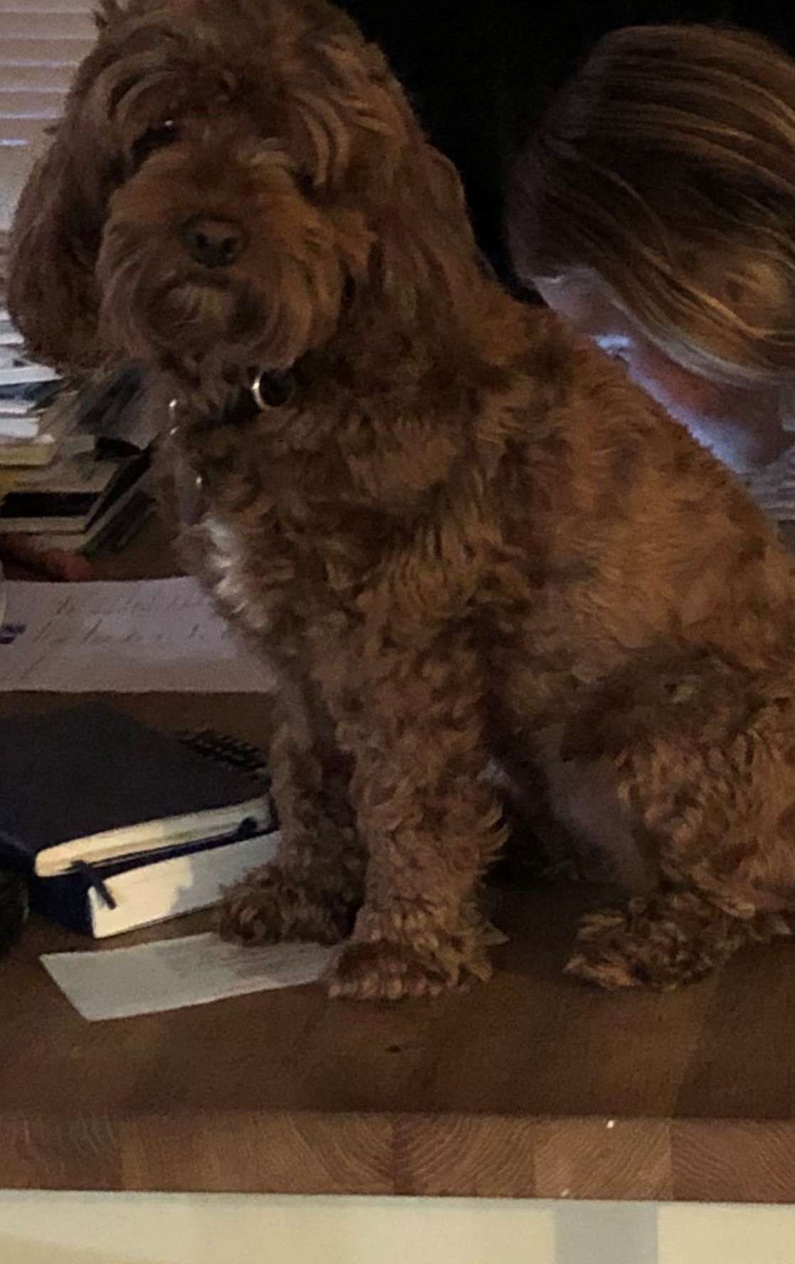 Appeal from Leicestershire Police to find stolen Cockerpoo Riz. #PetTheftReform