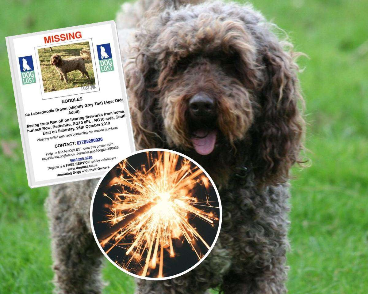 Wokingham labradoodle Noodles missing a week after being scared by fireworks