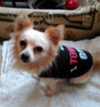 Stolen chihuahua Issac is still missing, he was advertised for sale after he was found by a stranger! Theft By Finding.