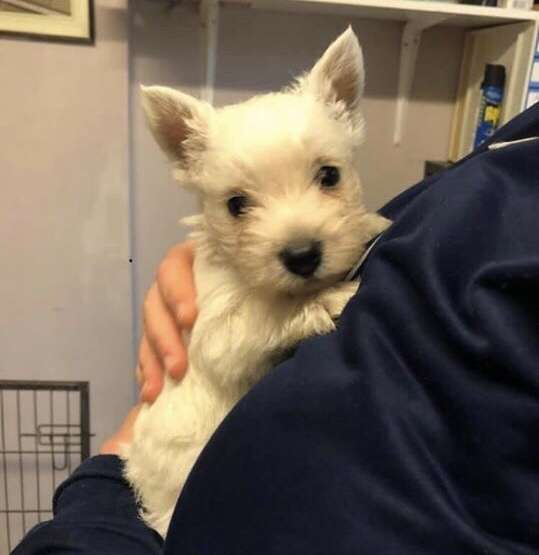 Haggis a West Highland Terrier puppy stolen from near Croydon, London.