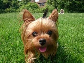 Stolen Teacup Yorkie picked up as a stray, now reunited.