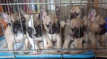 Clacton: Four French bulldog puppies stolen by masked men