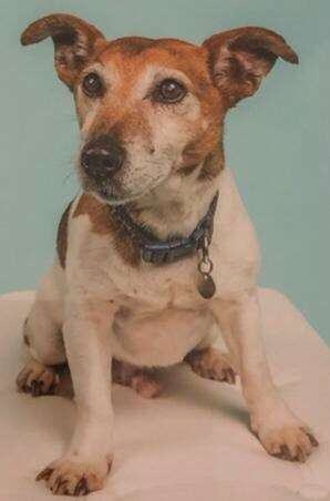 Have you seen missing Jack Russell terrier?
