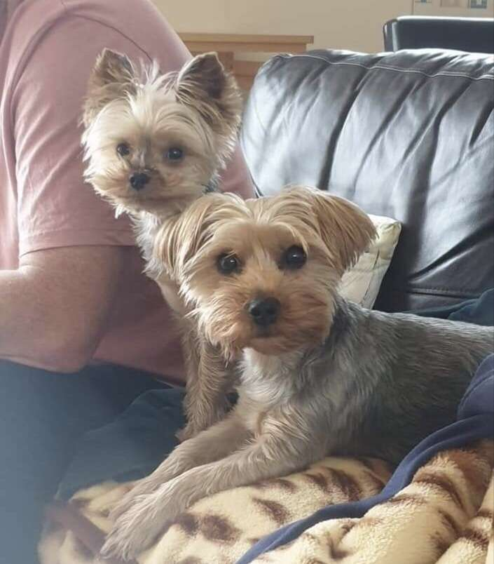 Both reunited!   Two Yorkshire Terriers stolen in home burglary, Cambridgeshire.