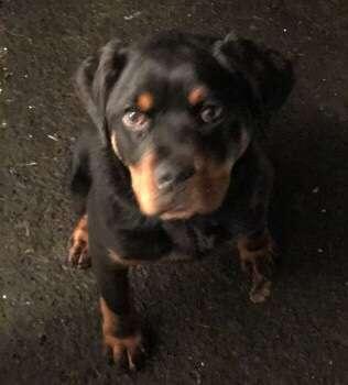 Stolen puppy CUDA reunited