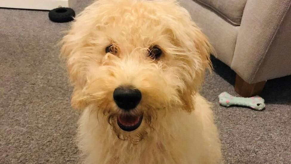 A labradoodle puppy was stolen at knifepoint while on a morning walk with its owner.