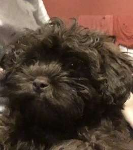 Shihtzu puppy stolen from flat in Basildon, Essex. REUNITED