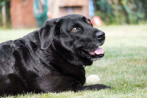 Labrador stolen from farm was 'enticed by burger'
