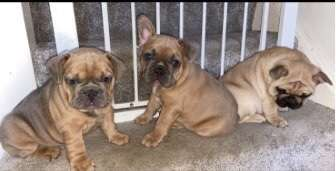 Update: Two pups reunited. Sold on in #Blackpool. Three French Bulldog puppies stolen, Timperley, Greater Manchester #PetTheftReform
