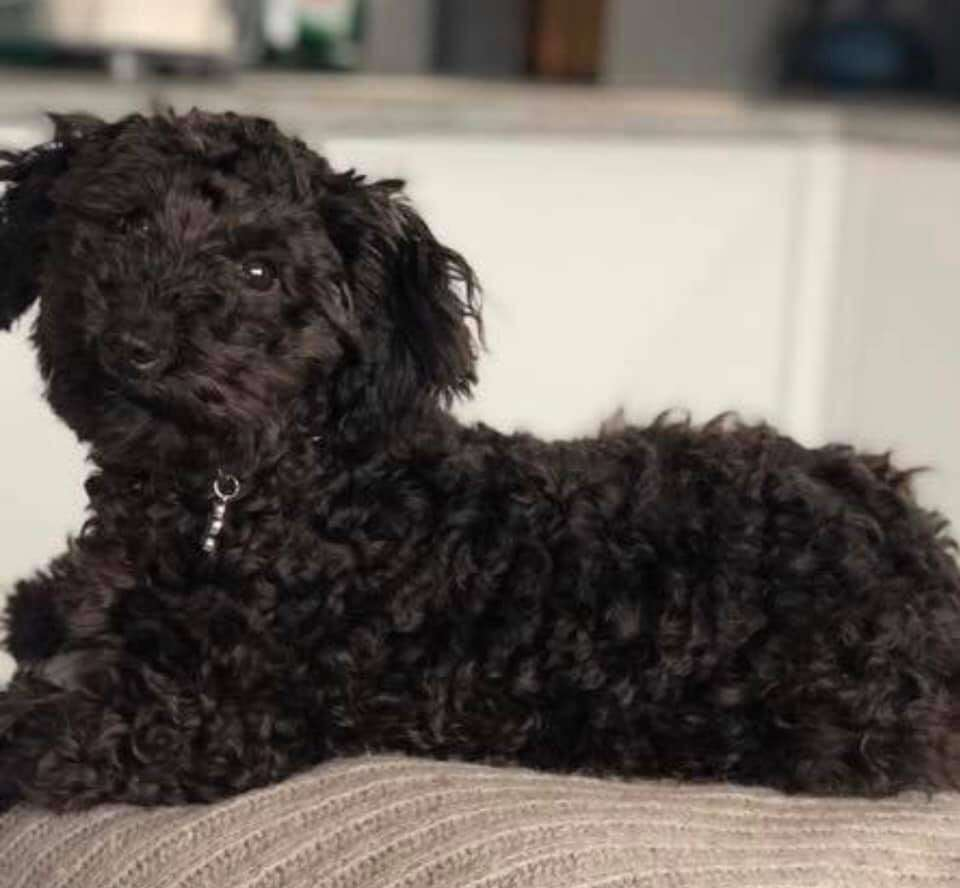 Dog thieves up their game as another man is mugged and puppy stolen, now returned thanks to social media #PetTheftReform