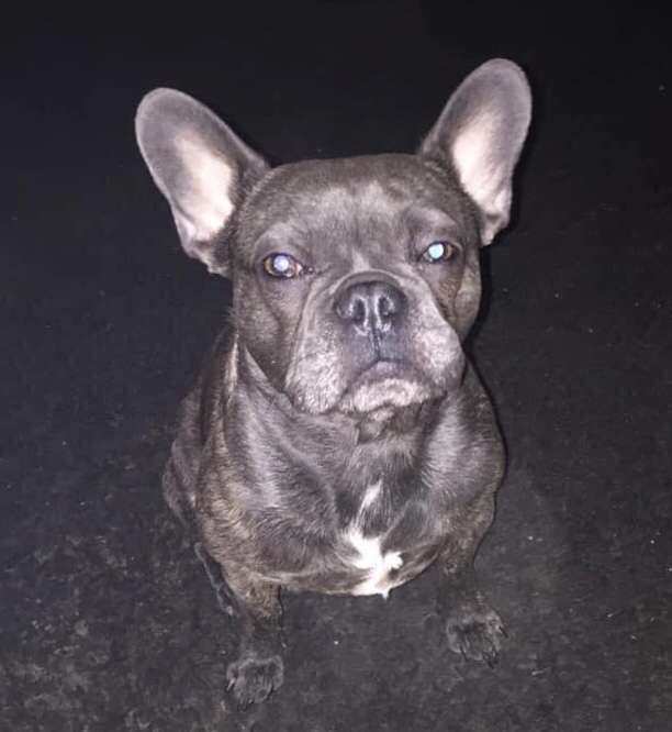 French Bulldog Frankie reunited after being spotted on a dash cam! #PetTheftReform