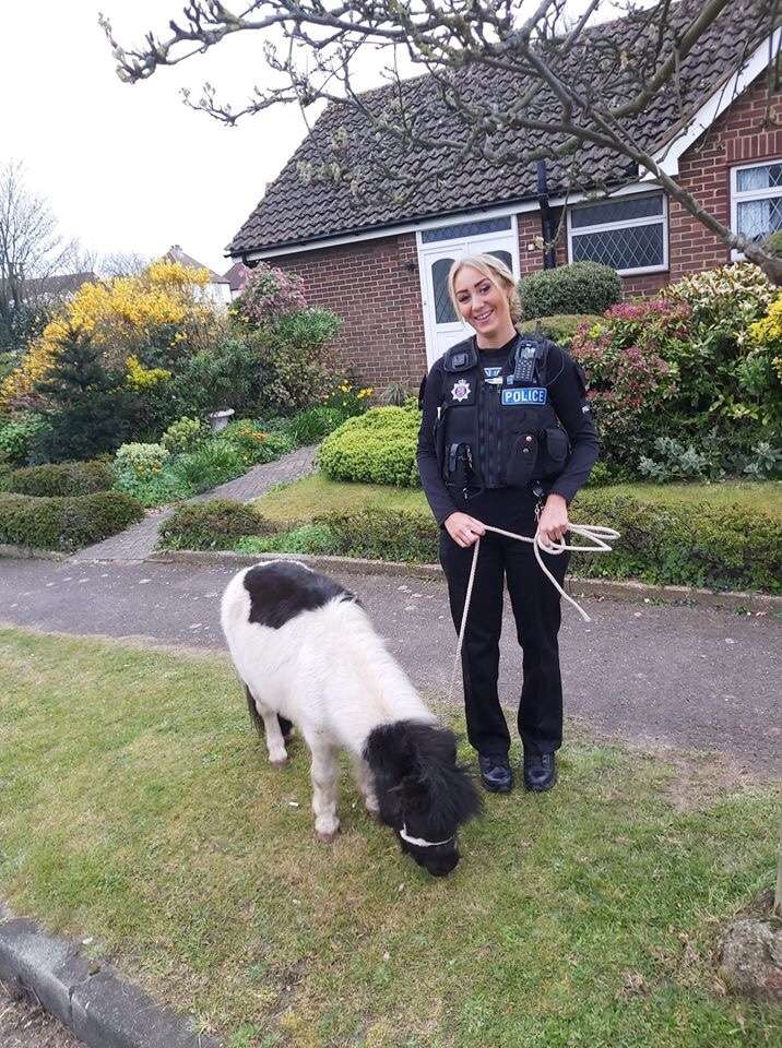 Essex Police reunite stolen Shetland pony and two other stolen ponies #PetTheftReform