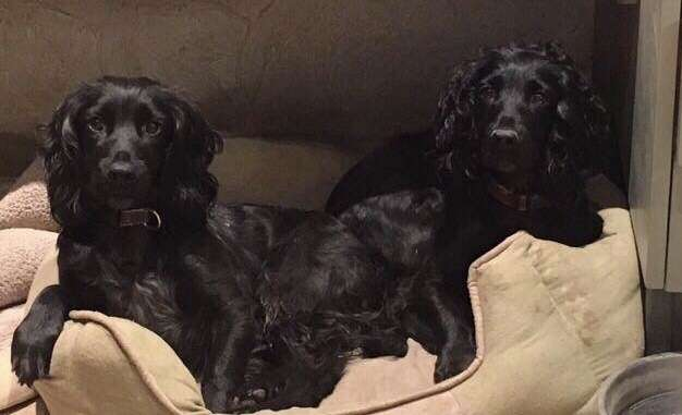TWO BLACK COCKER SPANIELS STOLEN, Ascot, Berkshire on 16th July 2018