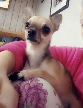 A dog owner in Halliwell is asking for help to find her lost chihuahua Fred.  #PetTheftReform