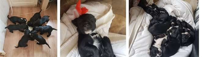 Cocker spaniel puppies stolen during burglary #PetTheftReform