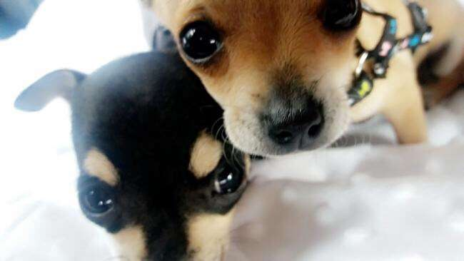 Thieves steal two chihuahua dogs Gucci and Chico from home.