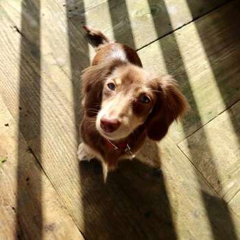 Miniature Dachshund stolen from Rayners Park, London.  #PetTheftReform