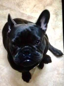 Stolen French bulldog puppy was found dead, wrapped in four black bags.   #PetTheftReform