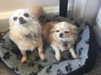 Chihuahuas stolen from car in Sainsbury's car park, Hinckley, Leicestershire #PetTheftReform