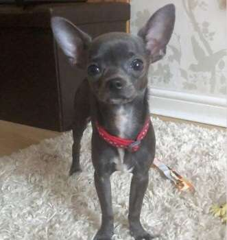 Helsby family heartbroken over disappearance of Chihuahua puppy #PetTheftReform