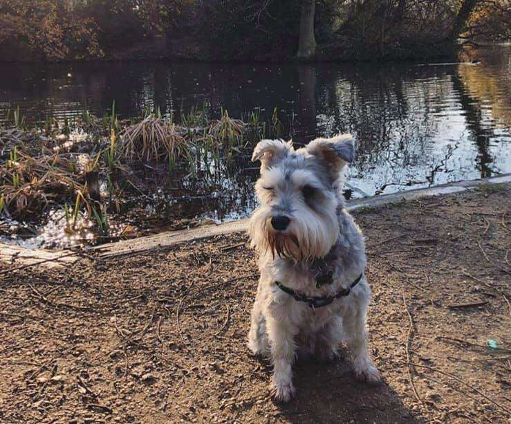 Percy, miniature schnauzer stolen from Balham, London, 23rd November 2019.