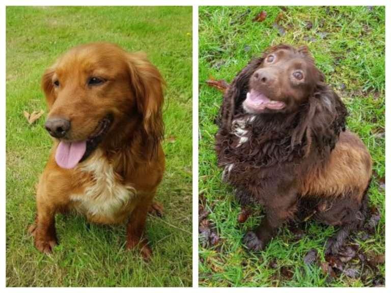 Spaniels stolen, Cumbria #PetTheftReform