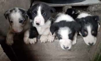 Seven Collie puppies stolen #PetTheftReform