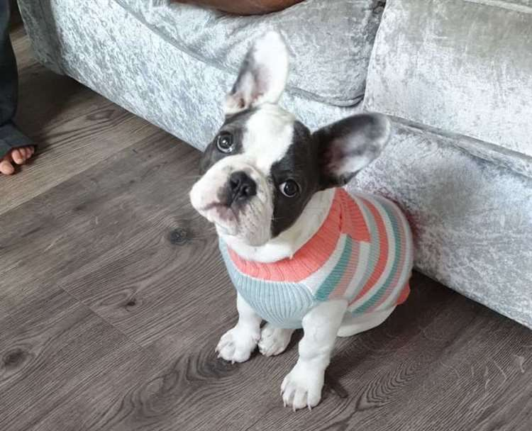 Rainham family appeal for help to find six-month-old French bulldog Winnie #PetTheftReform