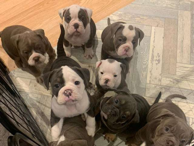 FOUND: Litter of bulldog puppies stolen from borough home have been rescued #PetTheftReform