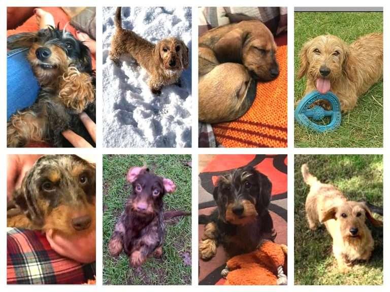 EIGHT MINIATURE DACHSHUNDS dogs have been STOLEN #PetTheftReform