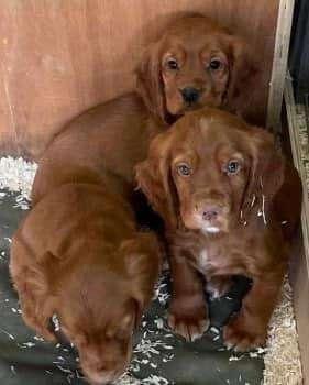 Norfolk police appeal for stolen puppies #PetTheftReform